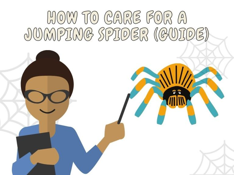 how to care for a jumping spider