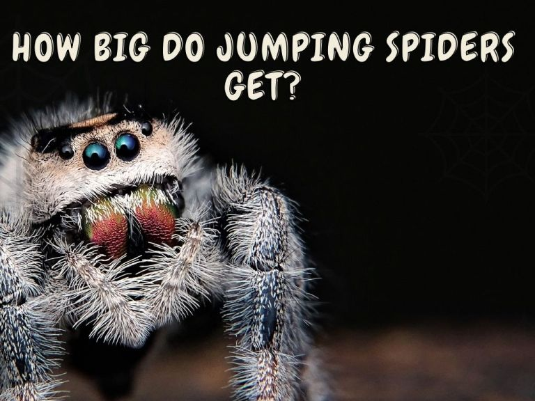 How Big Do Jumping Spiders Get
