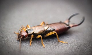 do earwigs really live in our ears