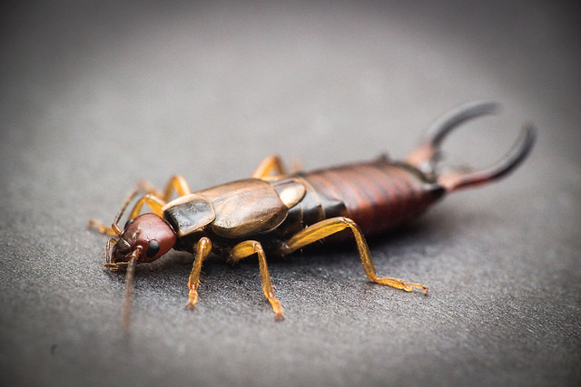 Do Earwigs Really Live in Our Ears?