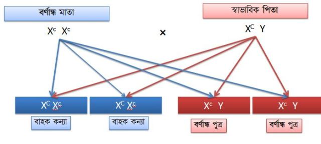 বর্ণান্ধতার বংশানুসরণ-3a