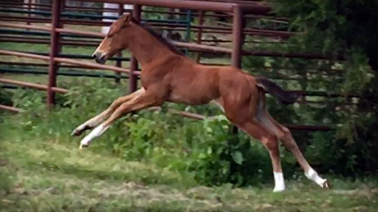 Appaloosa Foal Jumping