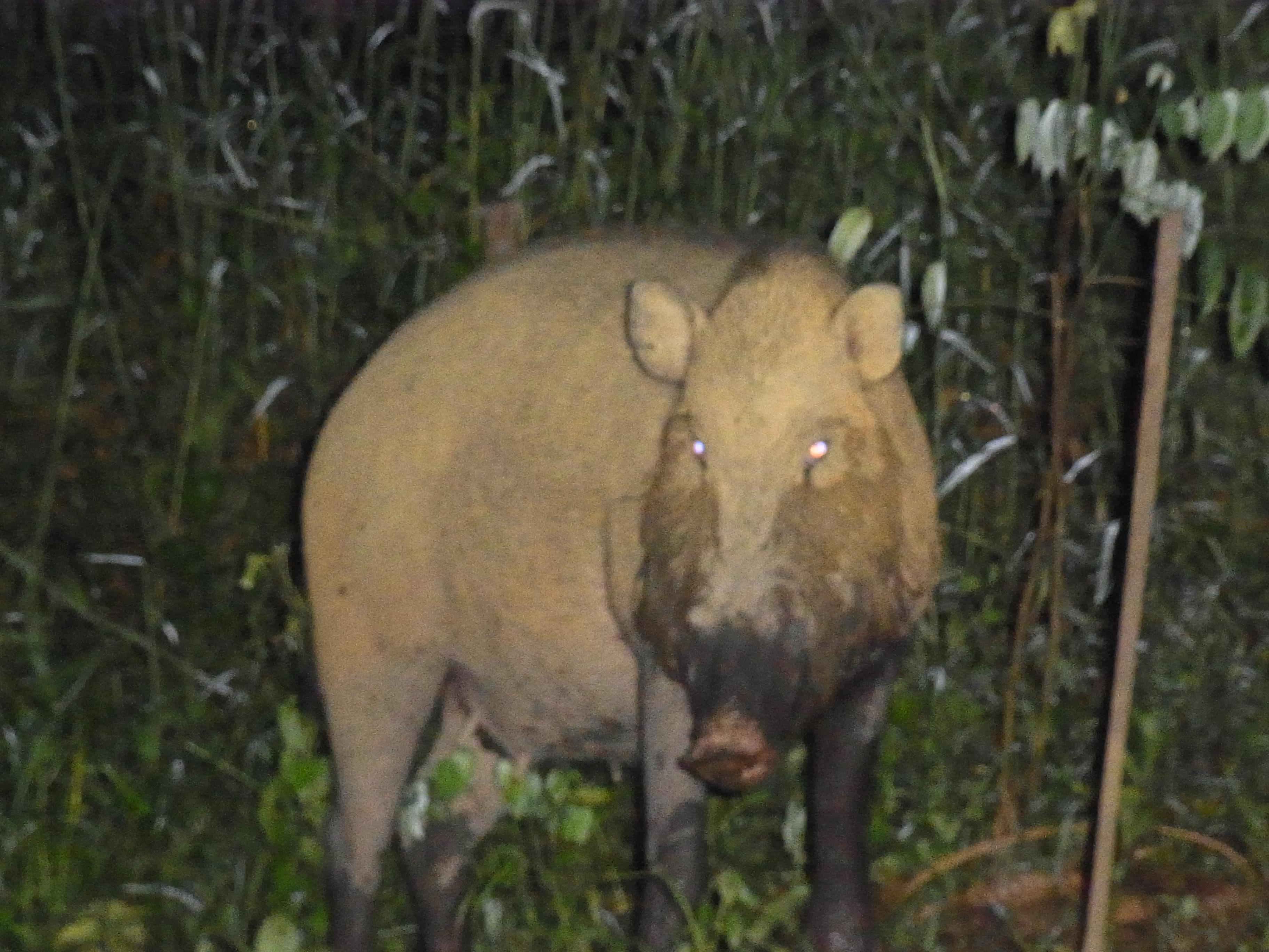 ヒゲイノシシ / Sus barbatus/ Bearded Pig at Kg. Dagat, Borneo
