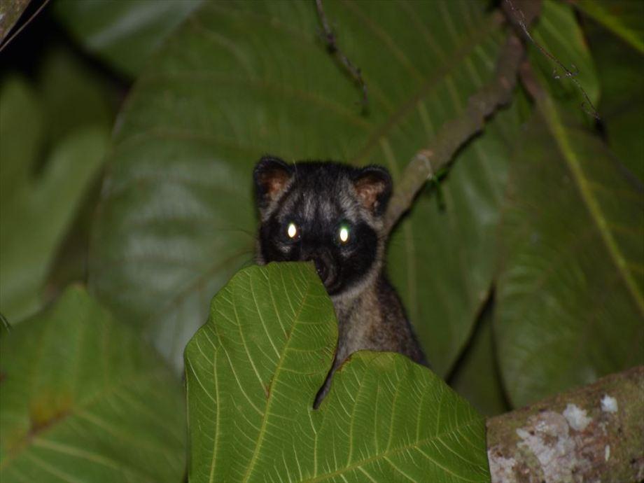 コモンパームシベット / Common Palm Civet