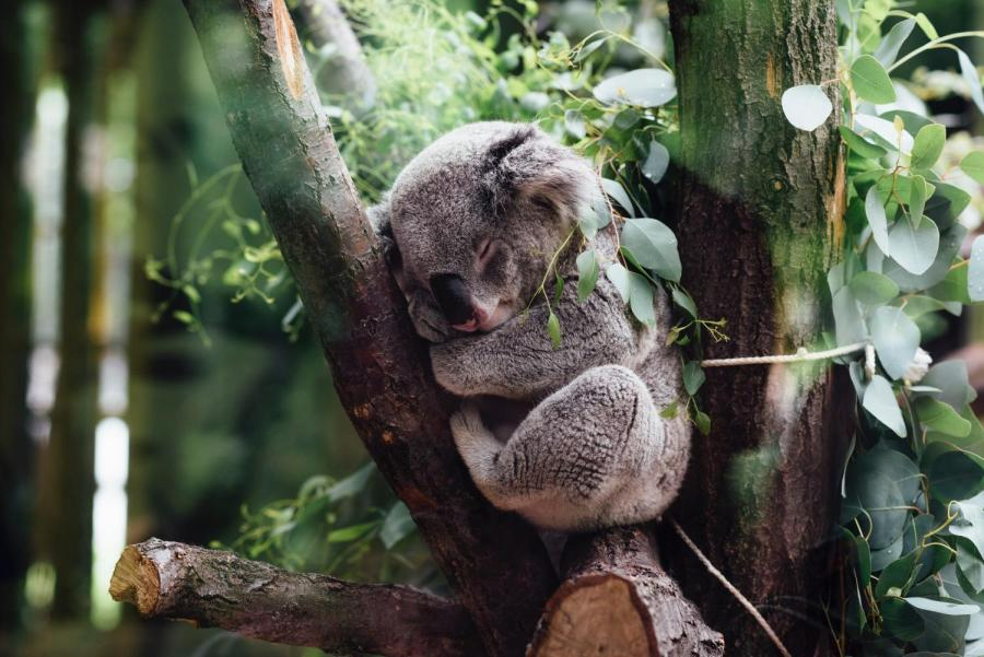 How much more can our koalas bear?
