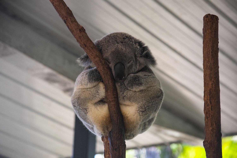 A sleepy Koala at Lone Pine Sanctuary