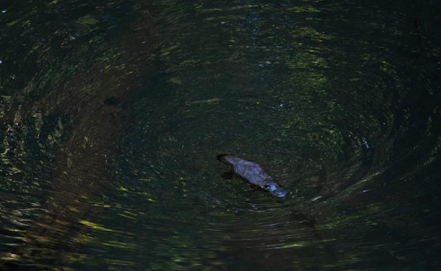 A platypus swimming freely in Obi Obi Creek.