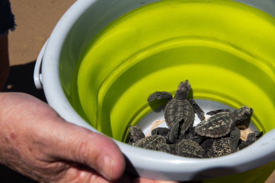 Hatchlings+ready+for+release.+