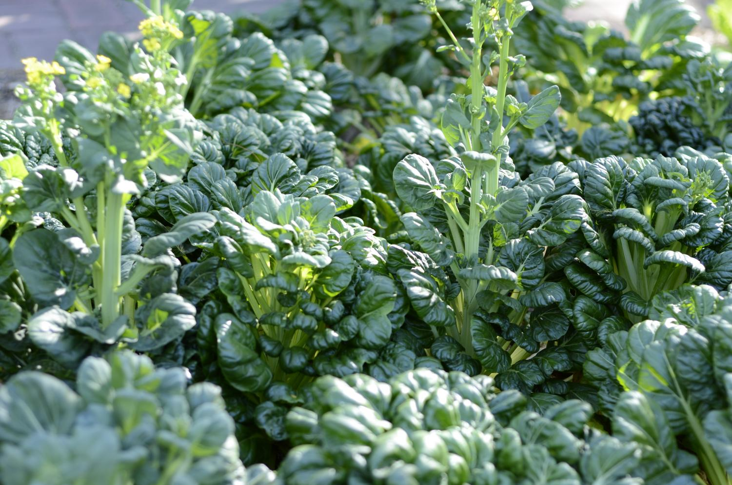 An Epicurious Garden bed packed with Asian greens.