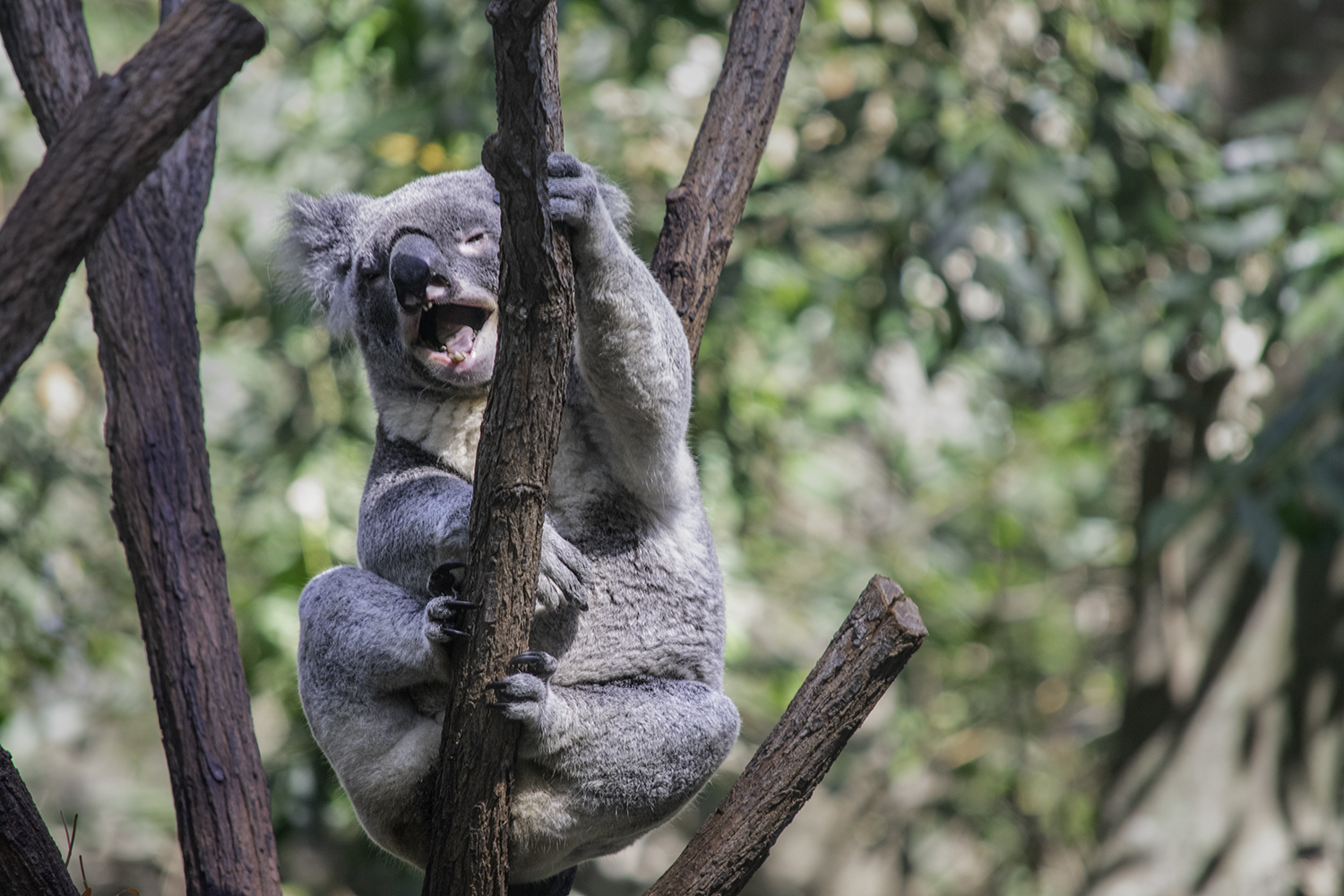 A laughing koala, perched  in the fork of tree.