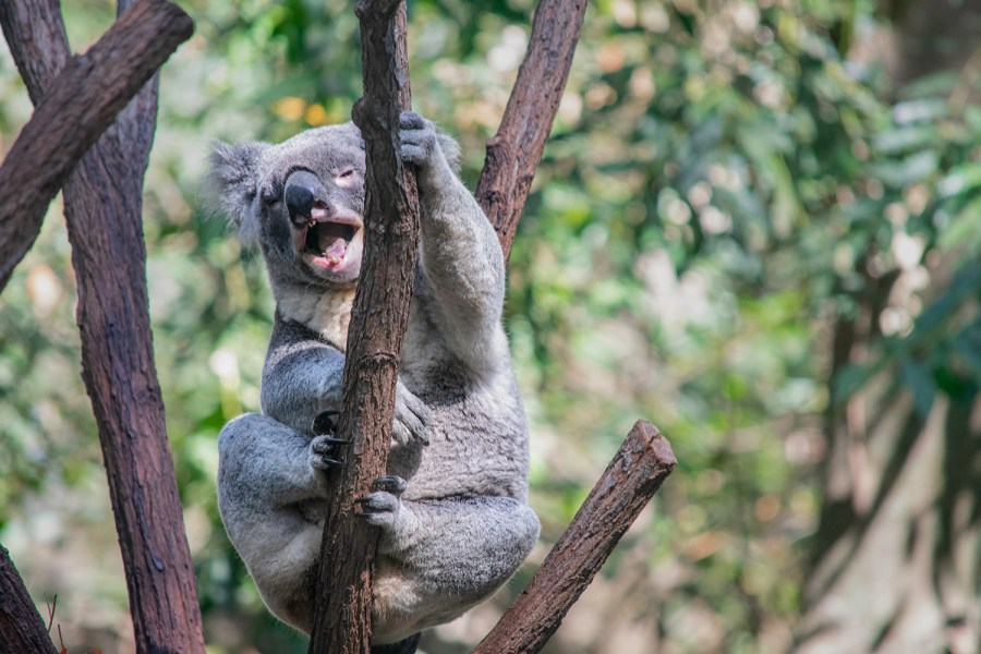 A+laughing+koala%2C+perched++in+the+fork+of+tree.