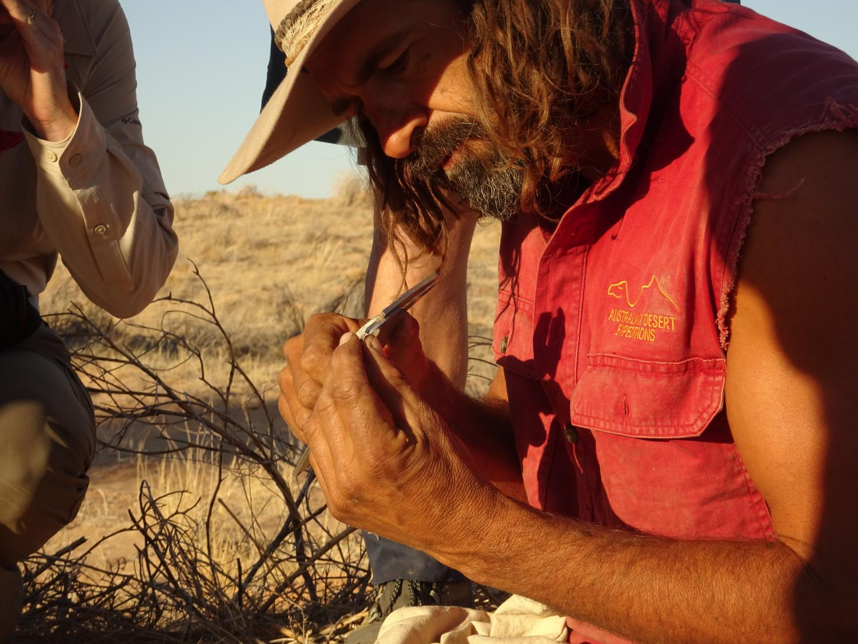 Dr Max Tischler, from Australian Desert Expeditions, measures a tiny skink, caught overnight. Photo: Chris Johnston