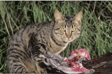 Feral cats are known to hunt prey larger than themselves. Photo credit: Professor Michael Calver