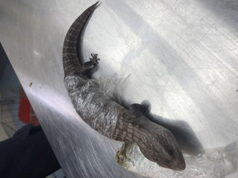 One of the Blue Tongue lizards seized at the border by ABF officers in a joint operation with the Department of Agriculture, Water and the Environment to disrupt an illegal wildlife smuggling syndicate.Source: The Australian Border Force Image Library