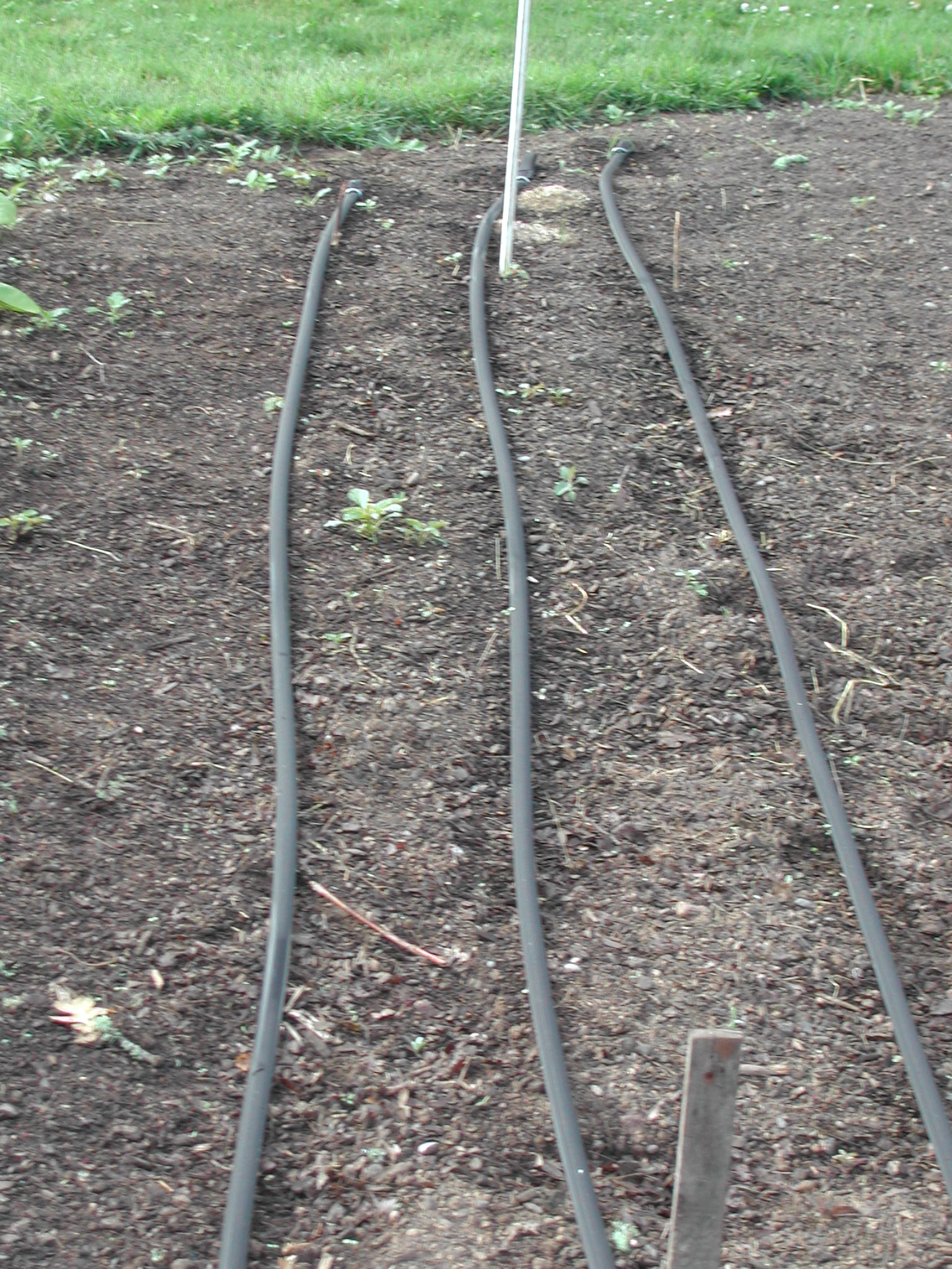 T-tape ready to irrigate the beans.