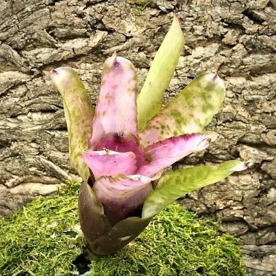Neoregelia Bromeliad - Cotton Candy