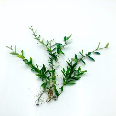 Ficus panama cutting