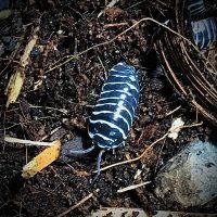 Armadillidium Maculatum Zebra Isopod in Canada