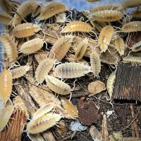 Porcellionides Pruinosus Whiteout Isopods