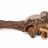 mopani wood large