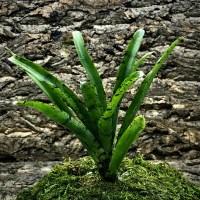 Mini Neoregelia Bromeliad - Graces Avalanche