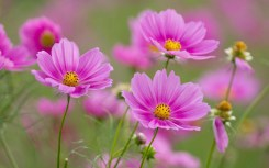 1680x1050_pink-flowers-cosmos-spring-flowers