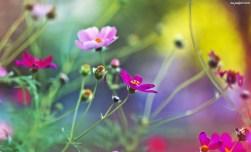 polne-kwiatki-1