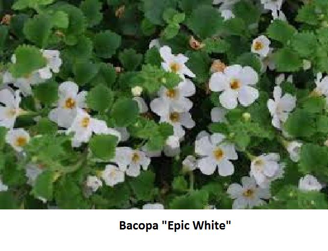 Bacopa Image