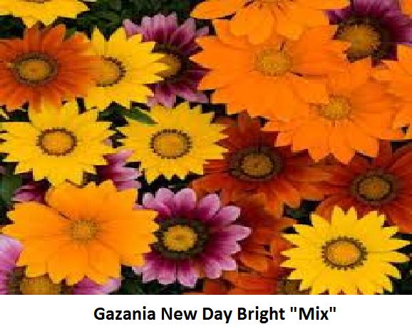 Gazania Image