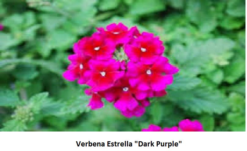 Verbena Image