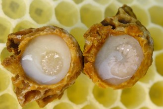 Image result for Royal Jelly