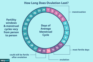 Ovulation Period | How Long Does Ovulation Last?