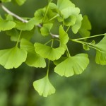 Herbal remedy ginkgo biloba 'can help stroke recovery