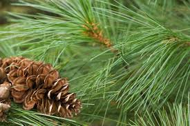 Potential Medical Benefits: Alertness, relieves short-term Pinene oil hints of pine, rosemary and sage.