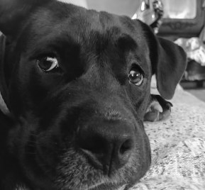 Close up photo of Pitt Bull puppy