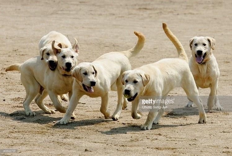 Cloned Labrador Retrievers