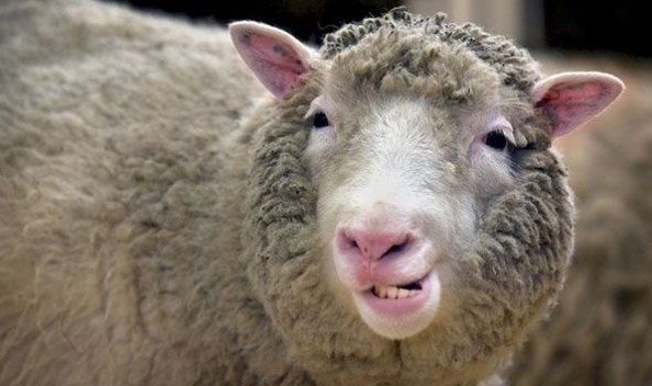 Dolly the cloned sheep