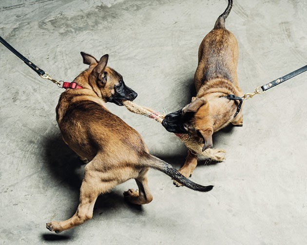 Cloned Military dogs