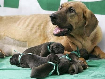 Pet Cloning: Cloned puppies