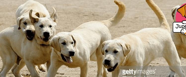 dog clones