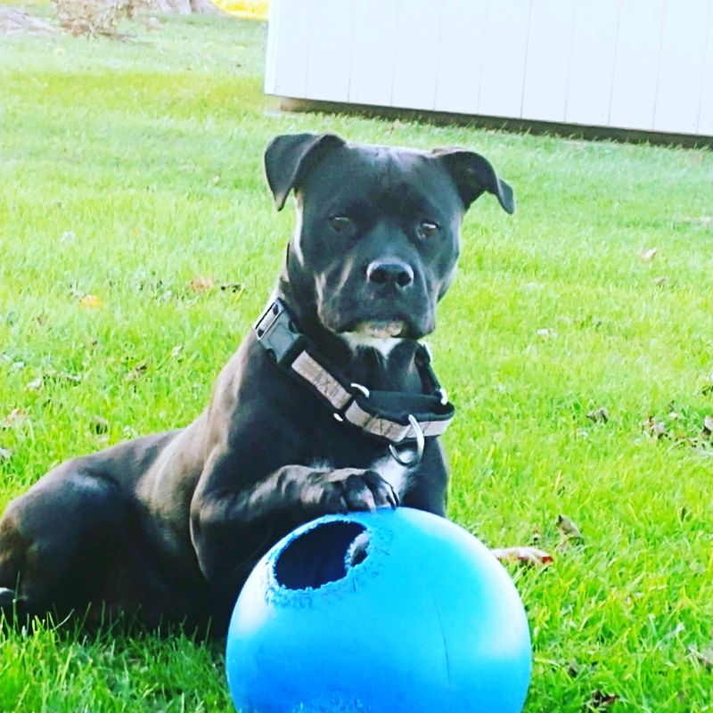 Pitbull with a ball