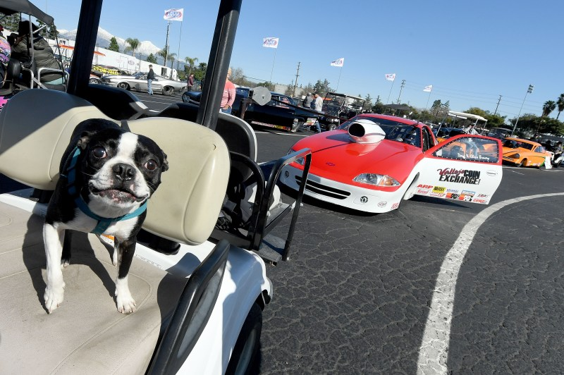 Willy sits in the golf cart of Super Gas racer Doug Bracey, from Vallejo, as he waits to qualify on the opening day of the 59th annual NHRA Winternationals at Auto Club Raceway at Pomona on Thursday, Feb. 7. (Photo by Will Lester, Inland Valley Daily Bulletin/SCNG)
