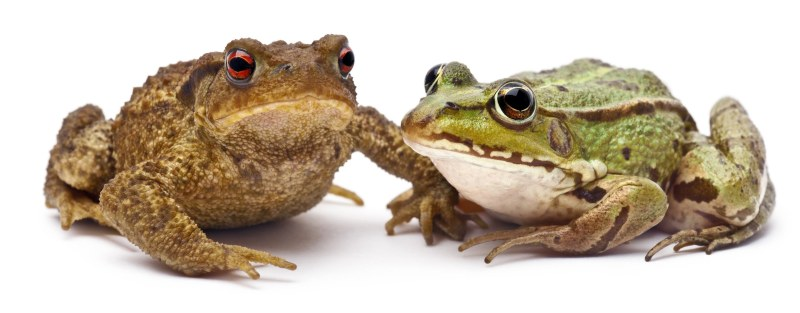 One way to tell a frog and a toad apart: frogs have smooth, clammy skin, while toads have more dry, bumpy skin