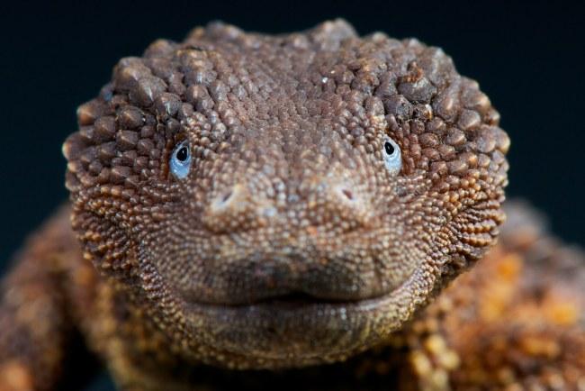 Reptiles & Amphibians: The elusive earless monitor lizard,