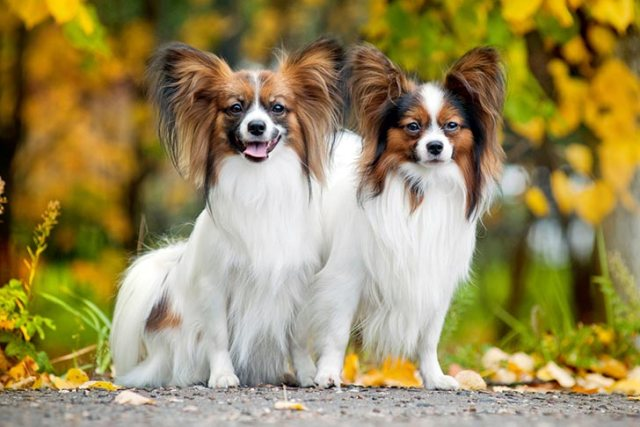 Papillon dogs sitting outrside