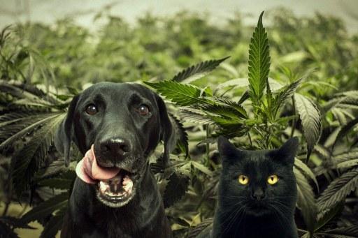 Black cat and dog in a field of Hemp