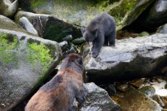 A sow fishes patiently in the creek, then presents her catch to her cub.