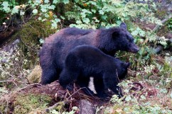 Sow and cub feast together on fresh caught humpy.