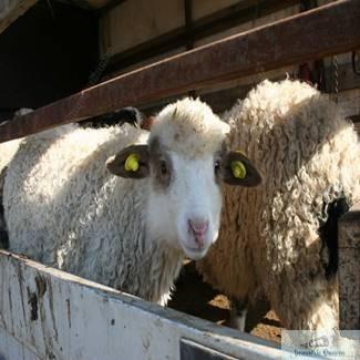 Mieii de Paste se vand in Piata Chiriac la pretul de la 13 lei pe kilogram 1