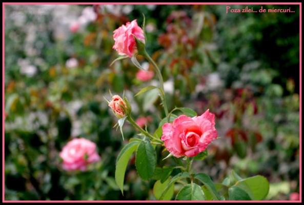 trandafiri la Balcik